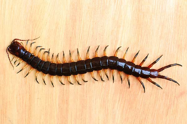 insecte appartement centipède